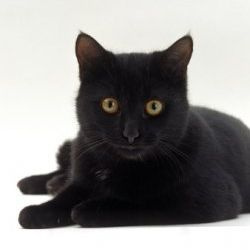 Adopt Black Cats