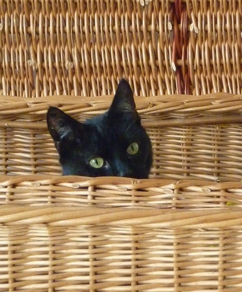 Black cat in basket, waiting for adoption