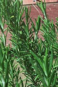 Rosemary Uses